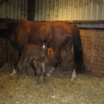 Furst Romancier Foal